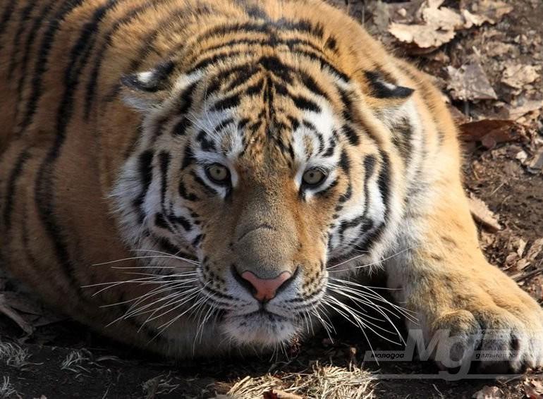 Фильм «Тропой амурского тигра» получил Гран-при международного фестиваля