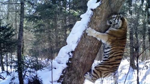 Tigr-Foto-Aleksandr-batalov