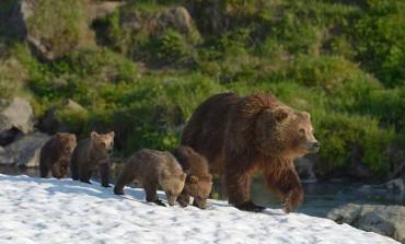 Фильм «Медведи Камчатки» покажут на фестивале документального кино в Европе