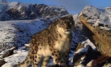 Про бурятских снежных барсов сняли документальный фильм