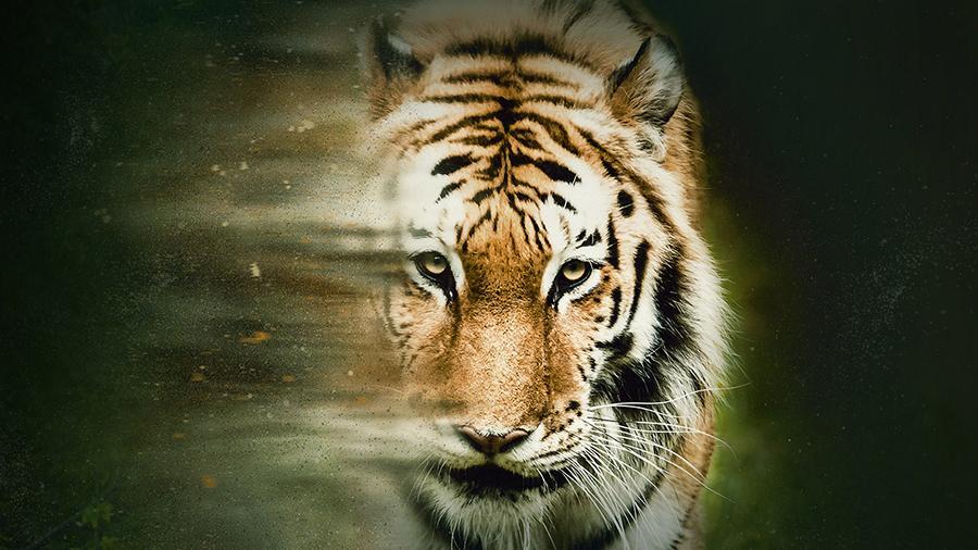 В Москве состоится показ «Спасти тигра» с участием режиссера Росса Кауфмана